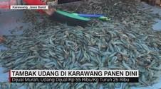 VIDEO: Tambak Udang di Karawang Panen Dini