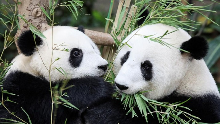 Imutnya Yiyi, Bayi Panda Hasil Diplomasi Malaysia - China