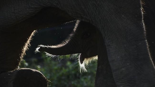 Bayi gajah Sumatera yang baru lahir merayu induknya agar disusui pada Sabtu (27/7) lalu. Keduanya tinggal di Unit Respons Konservasi Alue Kuyun, Meulaboh, Aceh. (AFP/Chaideer Mahyuddin)