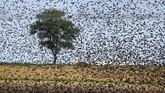 Sekelompok burung Jalak Eropa berkumpul dalam hari-hari di musim panas yang cerah di pinggiran Minsk, Belarus, Selasa, (30/7). (AP Photo/Sergei Grits)