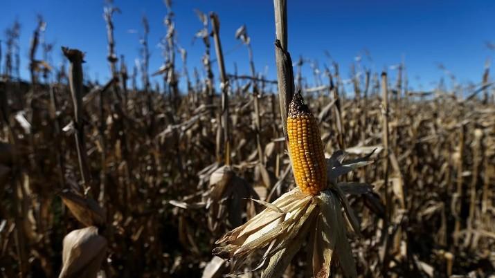 Industri pakan ternak mengusulkan ada impor jagung 200 ribu ton di 2020.