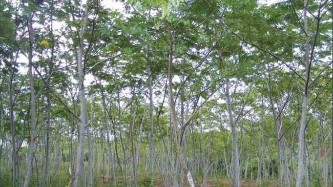 Mengenal Manfaat Pohon Sengon untuk Kesehatan