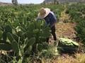 VIDEO: Peneliti Meksiko Ubah Kaktus Jadi Plastik Daur Ulang