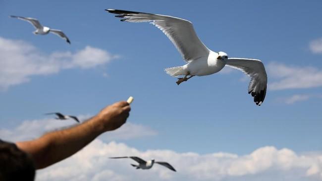 Seorang pria yang berada di atas ferry yang menuju Pulau Thassos, Yunani, memberi makan burung camar. (REUTERS/Yiannis Kourtoglou)