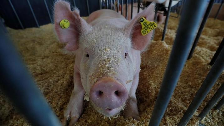 Para peternak Babi di China berupaya untuk membuat babi-babi peliharaannya menjadi lebih gemuk