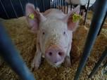'Pegang' Babi Bakal Cuan Besar karena China, Nih Buktinya!
