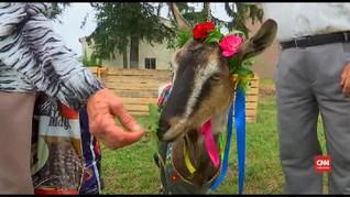 VIDEO: Koza Fest, Kontes Kecantikan Kambing Ukraina