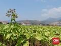 Tembakau Bandung, 'Harta Karun' dari Bumi Priangan