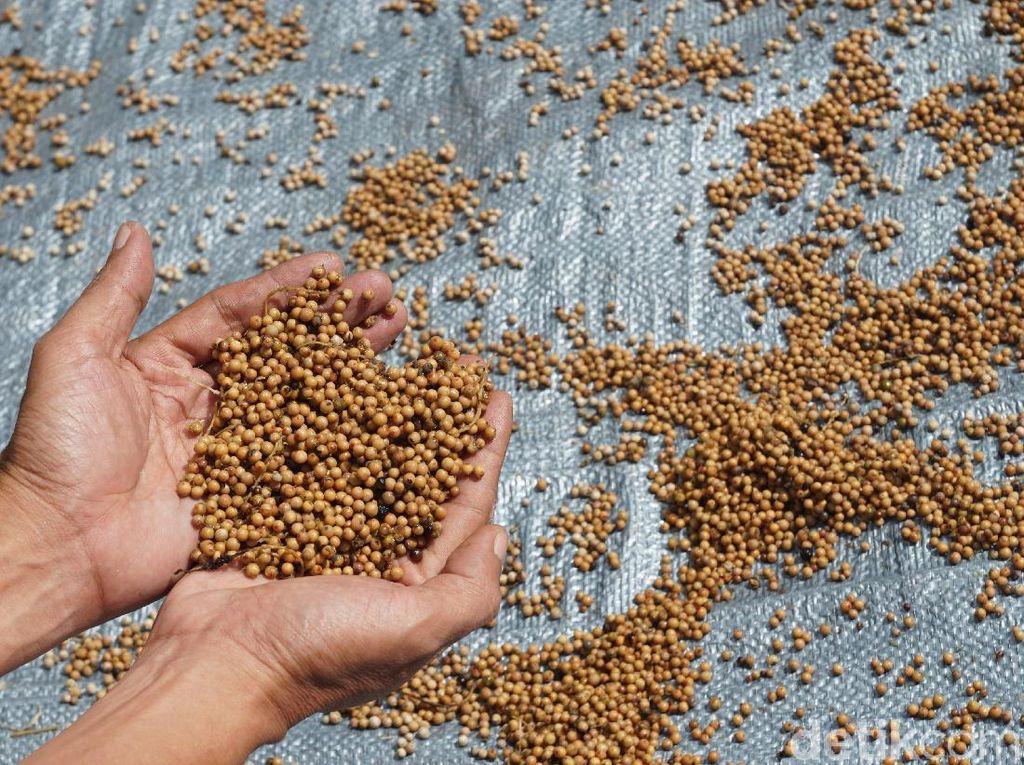 Foto: Begini Cara Pembuatan Merica di Belitung