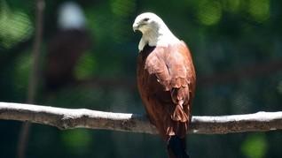 Kepulauan Seribu Tercemar, Elang Bersarang di Tumpukan Sampah