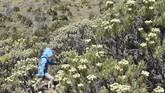 Pendaki melintas di antara hamparan tanaman Edelweis (Anaphalis javanica) yang bunganya mulai bermekaran di kawasan Gunung Lawu, Jawa Timur, Sabtu (17/8). Pengelola kawasan Gunung Lawu memberlakukan larangan keras memetik bunga Edelweis bagi masyarakat. (ANTARA FOTO/Siswowidodo)