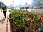 Ini Penampakan Bugenvil Andalan Anies untuk Lawan Polusi