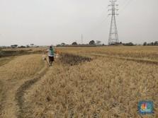 Bau Tak Sedap Subsidi Pupuk di Tangan BPK dan KPK