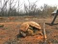 VIDEO: Satwa Liar Bolivia Jadi Korban Kebakaran Hutan