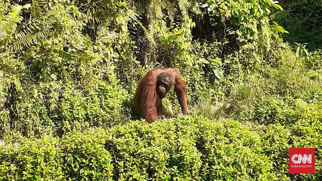 Aktivis Ingatkan Pembangunan Ibu Kota Ancam Habitat Orangutan