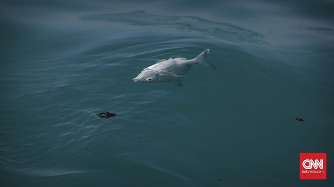 Bukan hanya mengotori lautan, tumpahan minyak pun membuat ikan-ikan mati, atau berbau menyengat sehingga tak bisa dijual. Tambak udang serta ribuan pohon mangrove pun ikut tercemar. (CNN Indonesia/Adhi Wicaksono)