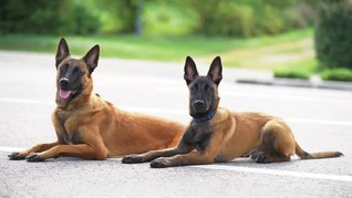 Mengenal Malinois Belgian, Anjing Penggigit ART sampai Tewas