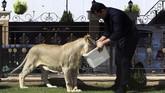 Peternak singa Ali Abdullah Salman mengatakan, orang yang memelihara singa harus memiliki kepribadian kuat dan sabar. Termasuk mampu menyediakan kebutuhan singa, dari makanan hingga kandang, yangharganya sangat mahal. (REUTERS/Ari Jalal)