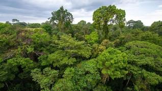 Pohon Tertinggi di Amazon Selamat dari Amukan Api