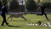 Saad al-Matlabi, anggota komite keamanan di dewan provinsi Baghdad, mengatakan ada hukuman bagi siapa pun yang memelihara hewan-hewan ini di daerah perumahan. Namun, penjualan dan pembelian singa sebagai hewan peliharaan masih berlangsung secara sembunyi dan ilegal. (REUTERS/Ari Jalal)