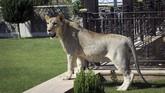 Leo, singa berusia 15 bulan milik Kurdi Sheikh Blend Mamoon,berada di kebun rumah di Duhok, Irak. (REUTERS/Ari Jalal)