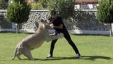 Karena sejatinya singa adalah hewan buas dan berbahaya, Kementerian Lingkungan Hidup Irak telah membentuk komite pada tahun 2013 untuk mencegah pedagang membawa lebih banyak predator ke Irak. (REUTERS/Ari Jalal)
