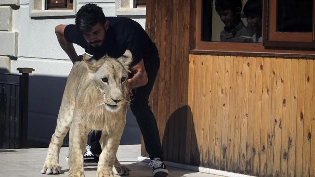 Singa muda dijual seharga US$400 atau sekitar Rp5,6 juta, sedangkan untuk singa yang lebih tua dengan badan besar, harganya mencapai US$7.000 atau Rp99 juta. (REUTERS/Ari Jalal)