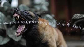 Pitbull dan 9 Anjing Lain yang Kerap Serang Manusia