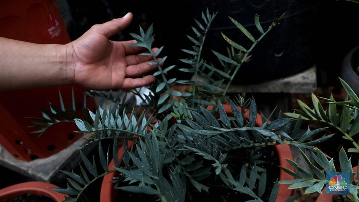 Bonsai dari jenis pohon kimeng atau Ficus microcarpa dari Taiwan ini disebut milik pedagang asal Jakarta Barat yang di jual seharga Rp 800 juta di gelaran pameran Flona 2019, Jakarta, Jumat (6/9). bonsai kimeng sebenarnya biasa dikategorikan di bawah kategori jenis bonsai beringin. Maka nama lengkap jenis yang satu ini sebenarnya adalah bonsai beringin kimeng. Sebagaimana tipe beringin pada umumnya yang dijadikan tanaman hias, maka untuk yang satu ini pun Anda akan menemukan tampilan yang memukau lengkap dengan rimbun daun berwarna hijau. Pohon Palem ini berbeda dengan palem botol pada umumnya karena memiliki cabang 4, menurut penjualnya tanaman ini susah ditemukan. Tanaman yang dinamakan Palem Botol Cabang ini dijual dengan harga Rp 150 juta. Bentuknya yang unik ini dapat menjadi perindang pekarangan anda yang luas.  Palem botol atau palmiste gargoulette adalah satu di antara jenis tanaman yang biasanya ditanam sebagai tanaman hias pekarangan rumah. (CNBC Indonesia/Muhammad Sabki)