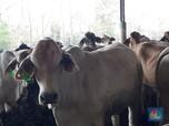 RI Terus-Terusan Impor Daging, Setara 1,7 Juta Sapi/Tahun