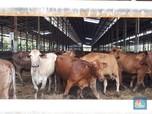 Buwas Buka-bukaan Soal Impor 30 Ribu Ton Daging Sapi Brasil