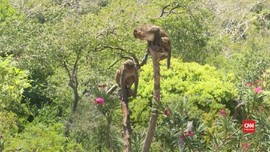 VIDEO: Pulau Monyet di Vietnam 'Diserbu' Wisatawan