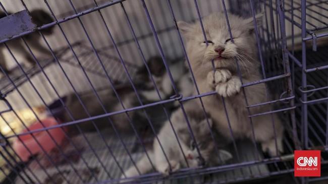 Sekelompok kucing ras persia yang dipamerkan di pameran Flora dan Fauna 2019 di Lapangan Banteng, Jakarta, Jumat, 6 September 2019. (CNN Indonesia/Bisma Septalisma)