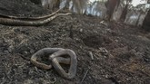 Seekor ular ditemukan mati di lokasi kebakaran lahan gambut di perkebunan sawit milik warga di Kecamatan Rumbai, Pekanbaru, Riau, Rabu (4/9/2019). Satgas Karhutla Riau terus berupaya melakukan pemadaman kebakaran lahan agar tidak semakin meluas. ANTARA FOTO/Rony Muharrman