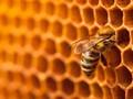 Populasi Lebah Terancam Punah Akibat Kenaikan Suhu Ekstrem