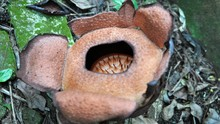 Rafflesia Patma Kembali Mekar di Kebun Raya Bogor