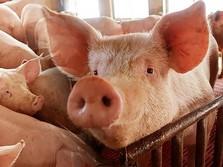 Daging Babi China Meroket 46%, Lebih Ngeri dari Perang Dagang
