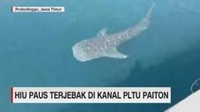 VIDEO: Hiu Paus Terjebak di PLTU Paiton