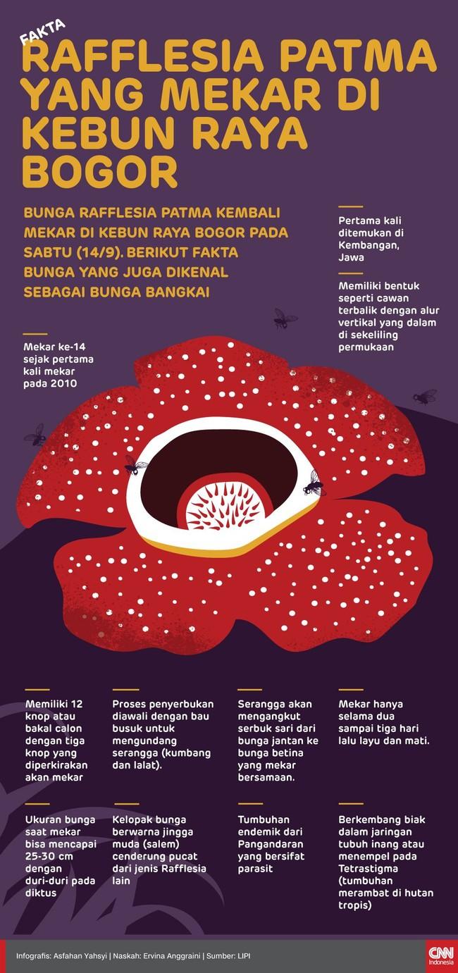 INFOGRAFIS: Fakta Rafflesia Patma di Kebun Raya Bogor