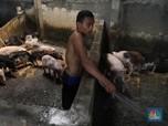 Mengintip! Sarang Pemotongan Babi di Tangerang