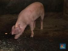 Gawat! Mentan Akui Wabah Flu Babi yang Landa China Masuk RI