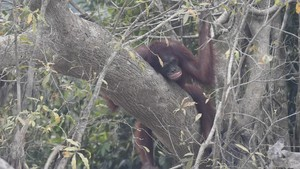 FOTO : Derita Orangutan karena Karhutla di Kalimantan