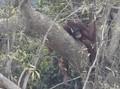 Ratusan Orangutan Derita Gangguan Pernapasan Akibat Karhutla