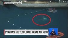 VIDEO: Evakuasi Hiu Tutul dari Kanal Air PLTU