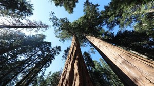 Wisata di Hutan Pohon Purba Setinggi Pencakar Langit