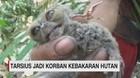 VIDEO: Tarsius Jadi Korban Kebakaran Hutan