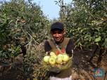 Sensasi Wisata Petik Apel di Kota Batu Malang