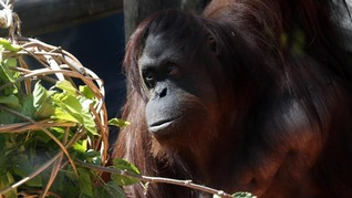 LIPI: Habitat Orangutan Terancam, Upaya Konservasi Mendesak