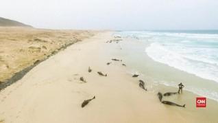 VIDEO: Ratusan Lumba-lumba Mati di Pantai Boa Vista