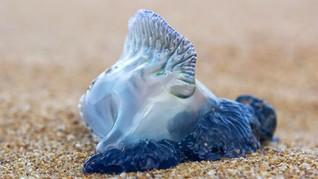 Ubur-ubur Beracun Mematikan Gerayangi Pantai Pariaman